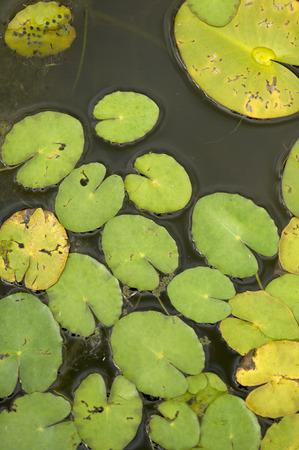 waterweed: Hydrocharitaceae Stock Photo
