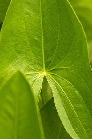 waterweed: Guwai Stock Photo
