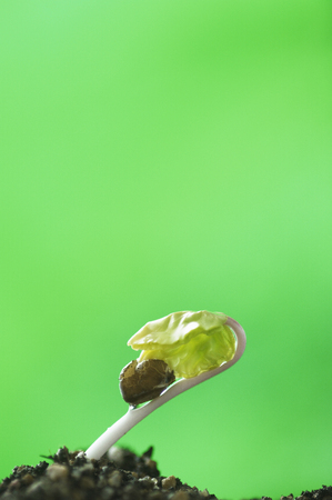 germinaci�n: La germinaci�n de gloria de la ma�ana Foto de archivo