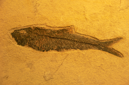 fossil: Fossil of fish Stock Photo