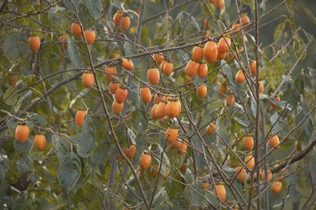 oyster plant: Persimmon trees