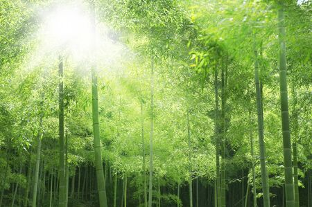 Bamboo forest and sunlight