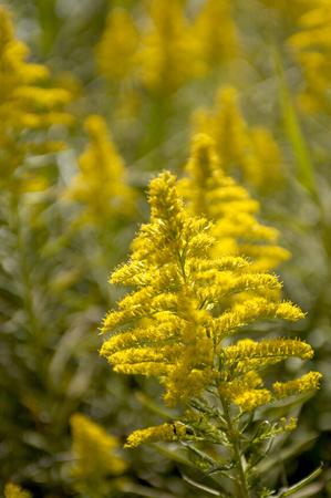 fever plant: Giraffe grass