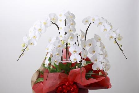 Phalaenopsis Orchid Stock fotó