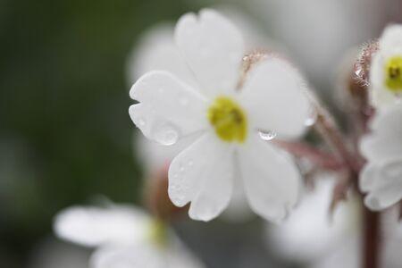 primula: Primula sinensis Stock Photo