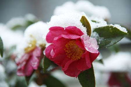 Sasanqua and snow Stock Photo