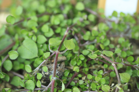 chickweed: Scarlet Pimpernel Stock Photo