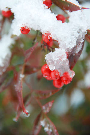 florid: Snow and a red fruit