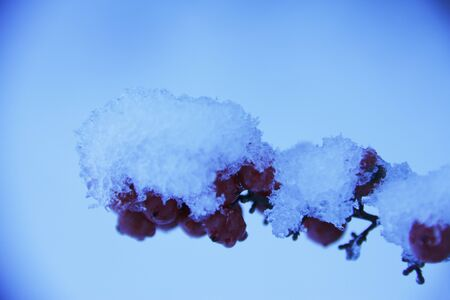 accumulate: Snow and a red fruit