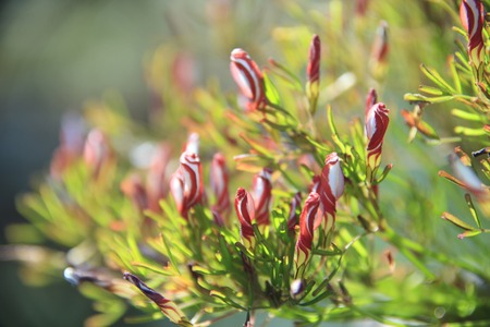 oxalidaceae: Okisaris Stock Photo