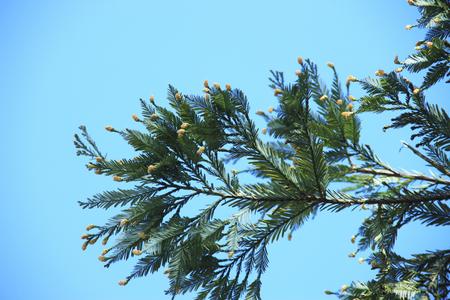 fever plant: Spores of the Cedar