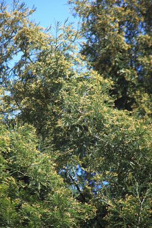 spores: Spores of the Cedar