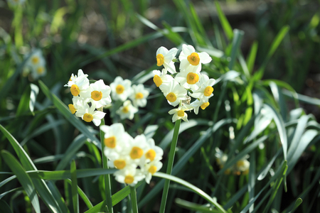 at white: White Daffodil