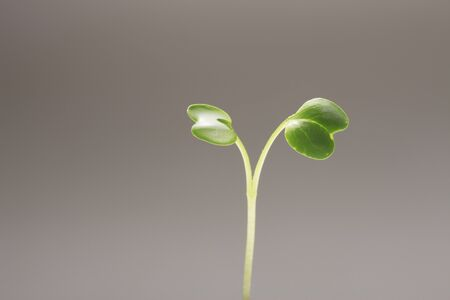 a bud  a sprout  a shoot: Futaba Stock Photo