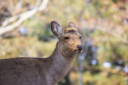 nara: Deer in Nara Stock Photo
