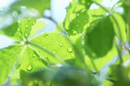 burgeoning: Fresh green leaves and water drop