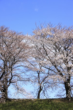 prefecture: Cherry tree roadside trees Stock Photo