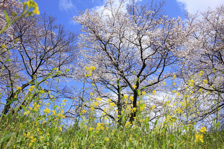 prefecture: Cherry and rape blossoms
