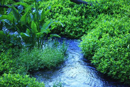 waterweed: Kakita River spring group