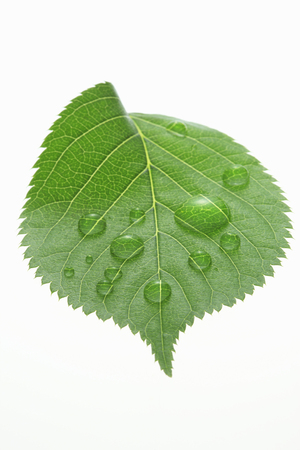 leaf water: Fresh green leaves and water drop