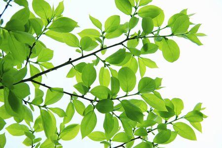 Fresh green