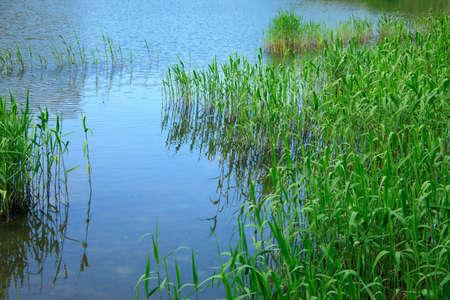 Fresh green reed Stock Photo