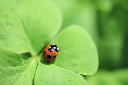 sweet grasses: Trefoil and ladybug