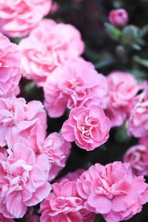 Carnation pink Stock Photo