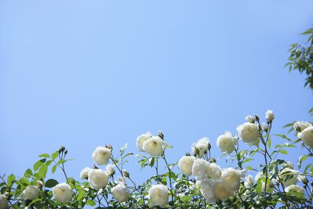 bushy plant: Rose white