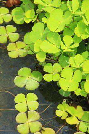 waterweed: Denjisou
