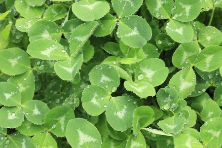 trifolium repens: Water droplets Stock Photo