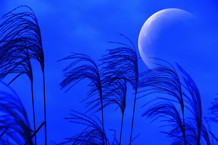 diluted: Moon and Miscanthus sinensis Stock Photo