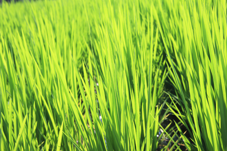 summers: Fields of summers rice Stock Photo