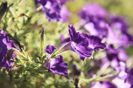 raices de plantas: Petunia