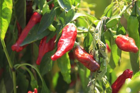 capsicum plant: Red pepper Stock Photo