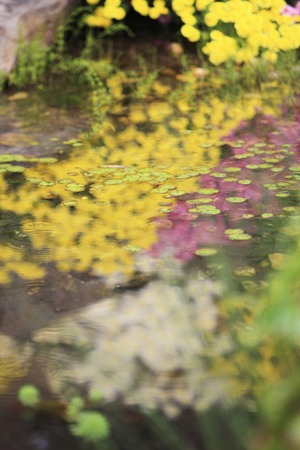 reflected: Chrysanthemum which is reflected in the pond