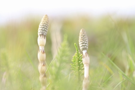 horsetail: Horsetail. Stock Photo