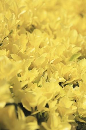 Golden Masaki 版權商用圖片
