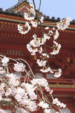 ninnaji: Two Japanese temples and cherry blossoms Stock Photo