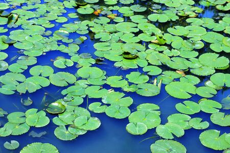 lily pad: Lily pad Stock Photo