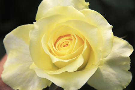 yellow roses: Amarillo Roses Foto de archivo