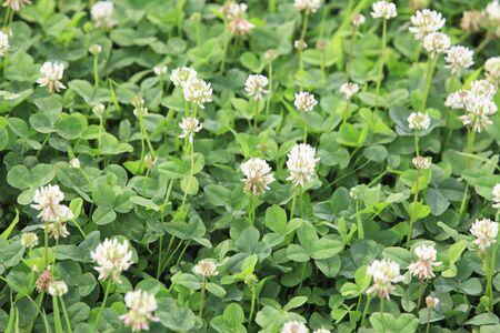 trifolium repens: Sirotsmegusa