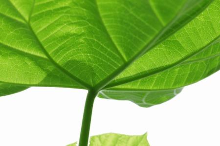 veins: Leaf veins
