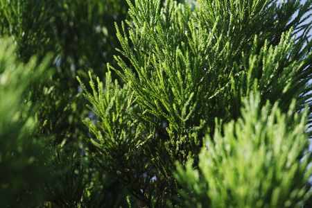 young leaves: Cedar of young leaves