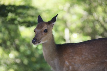 animal only: Yakushika