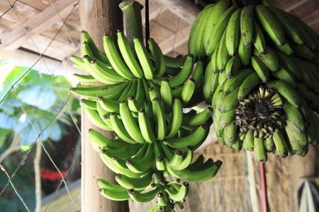 subtropics: Banana Archivio Fotografico