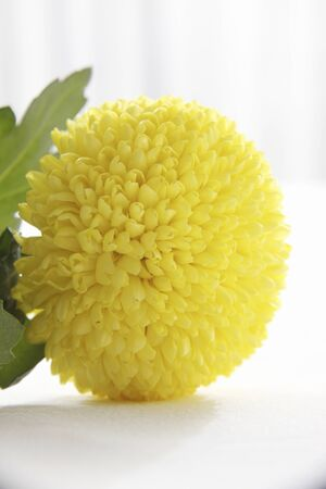 pompon: Pompon Chrysanthemum