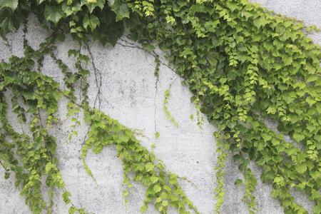 Walls crawling ivy