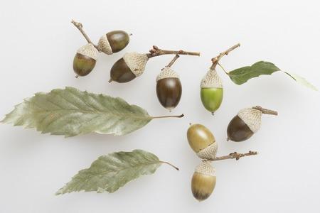 acorn tree: Acorn