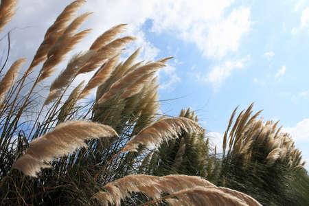 pampas: Pampas grass Stock Photo